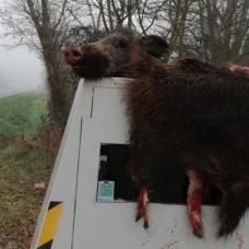 Lot-et-Garonne : un radar chantier recouvert des restes d'un sanglier