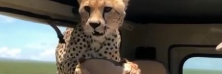 Tanzanie : un guépard «teste» les sièges d'une voiture (vidéo)